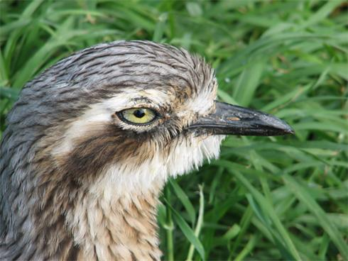 Close-up of Stone Curlew