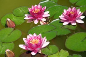 Colourful water lilies