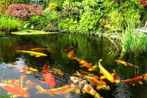 Clear pond with large koi