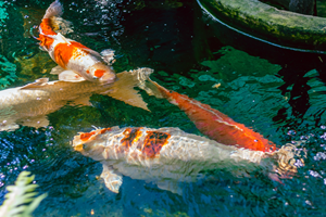 Large Koi in clear pond