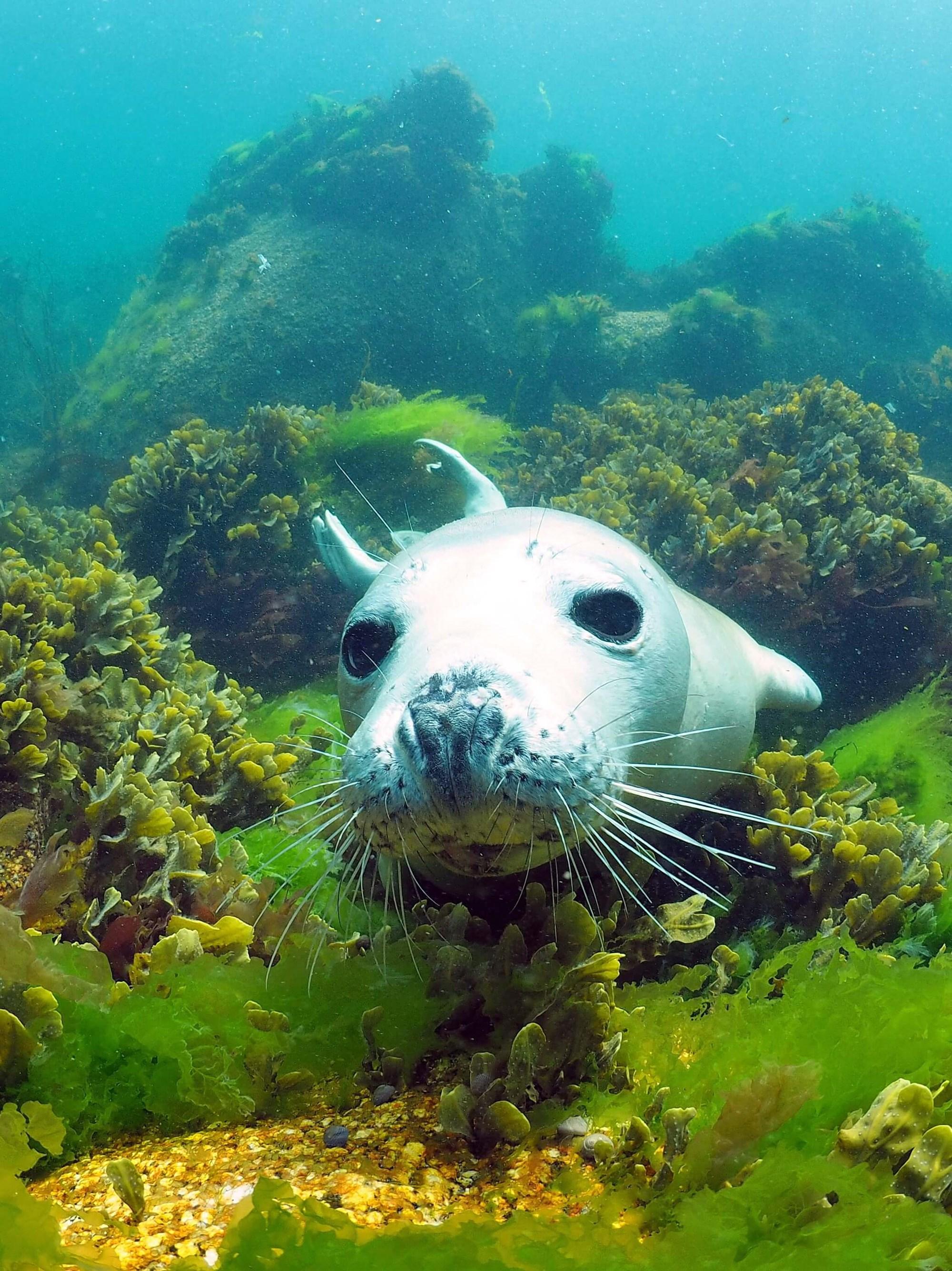 seal in shallow water