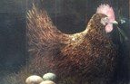 Broody Hen. Oil on canvas. 16 x  20in. SOLD