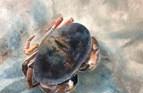 Crab 2, Dorset. Oil on board. 10in x 12in.