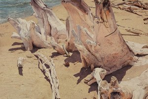 Beached Root II  1205 x 805mm