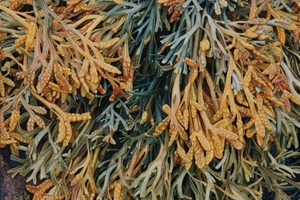 Channelled Wrack III   940 x 660mm  SOLD