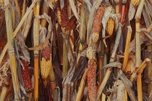 Winter Maize   1210 x 715mm