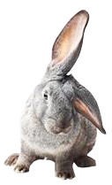 Grey rabbit with ear turned to ground