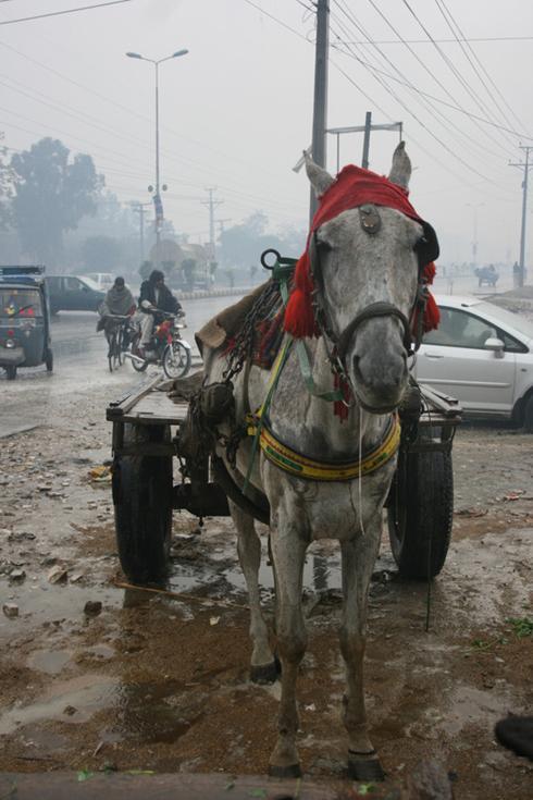 Equines, Rain, & Petra Ingram Photos of Petra's visit to Pakistan in Jan 2012