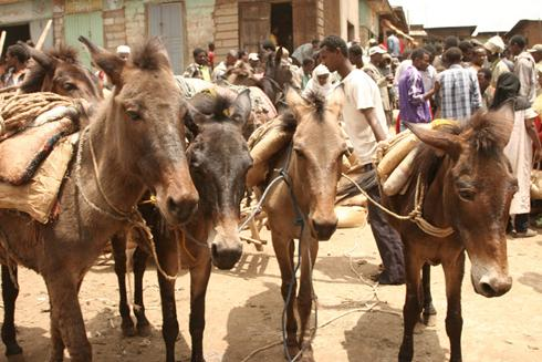 Images from the Grain Market in Ethiopia March 2011.  Unloaded animals at the grain market.