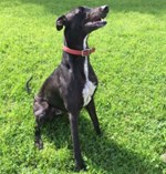 Black-dog-sitting-on-grass
