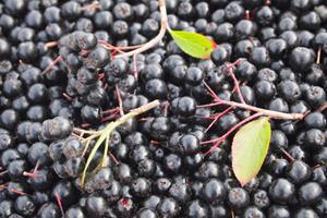 'as-picked' aronia berries on the JOANNA 4 harvester