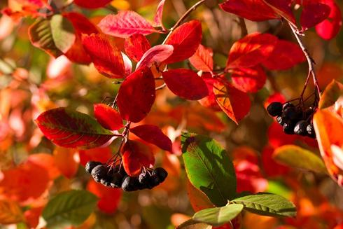 Aronia Plant
