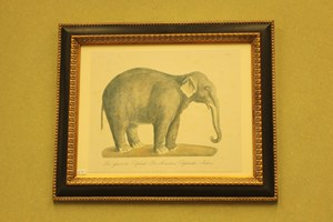 indian elephant £26 [ £78.00 framed ]