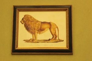 Male Lion.  £78.00 Framed