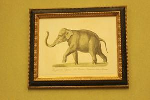 African Elephant  £26.00    Framed   £78.00