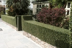 Privet hedge grown above natural stone plinth.