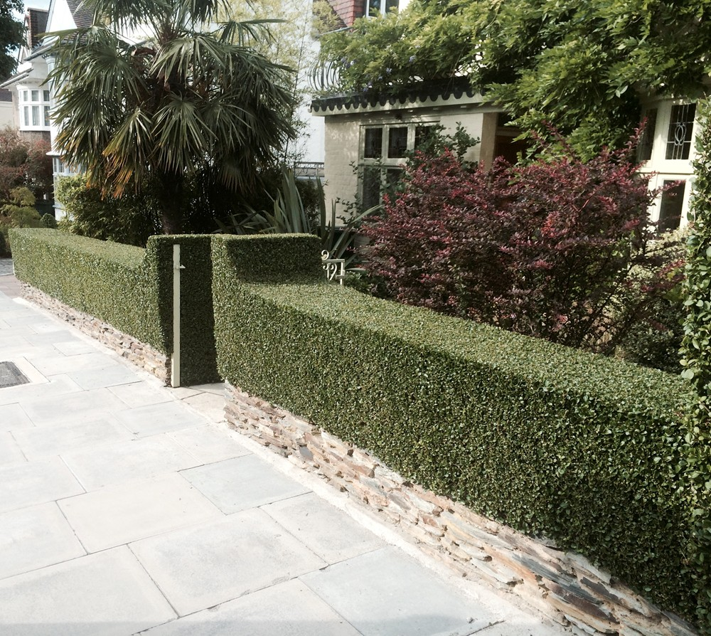 Garden Maintenance London - Privet hedge grown above natural stone plinth.