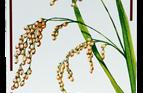 Organic Carnaroli Rice