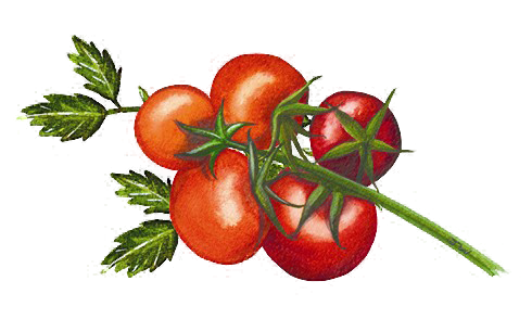 Organico tomato Illustration