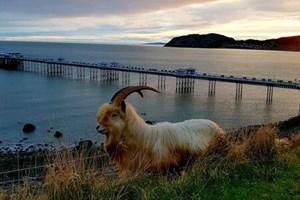 Goats of Llandudno