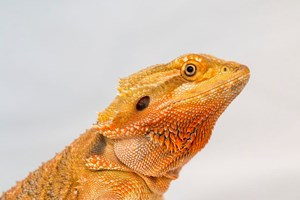 bearded dragons male and female  nice and calm easy to handle