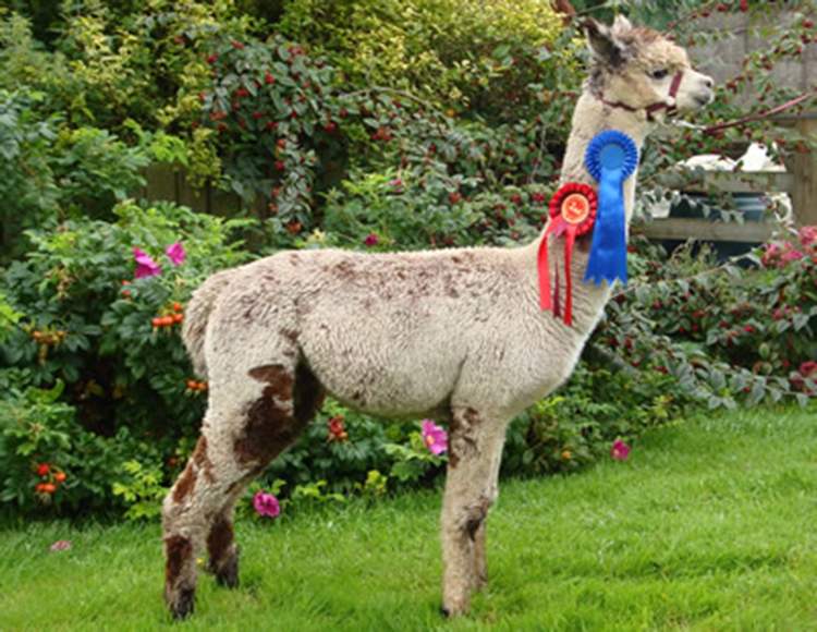 Alpaca Stud Services from Lucky Tails Farm