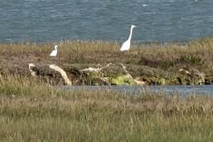 Little Egret - Egretta garzetta Great Egret - Ardea alba