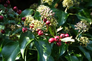 Autumn food - Ivy flowers (Hedera helix) and Hawthorn berries (Crataegus monogyna)