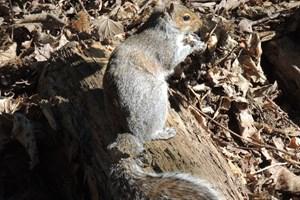 Grey Squirrel - John Kelsall Xmas 2020