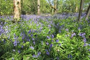Bluebell Wood Philippa Arnott Xmas 2020