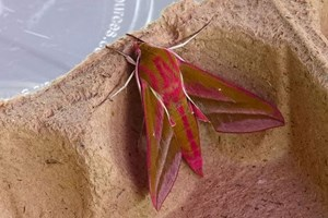 Banner Moth Trapping
