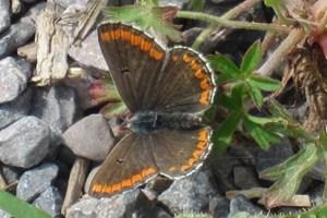 Brown Argus - Medmerry 8/6/2018