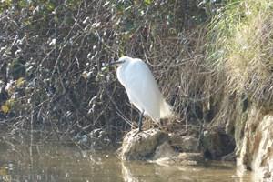 Egret (Egretta garzetta)