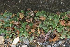 Umbrella liverwort - Marchantia polymorpha
