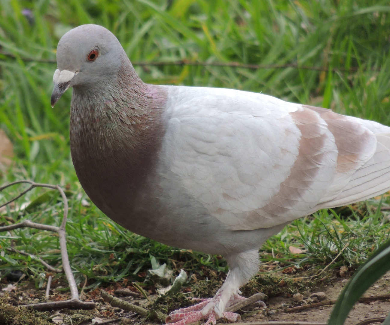 Feral Pigeon - John Kelsall xmas 2020