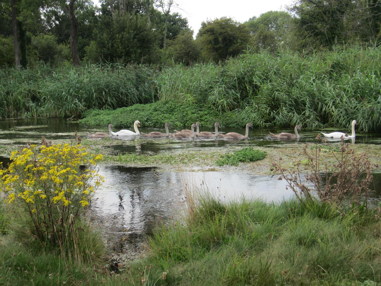 Swan Family - Phillipa Arnott - Xmas 2020