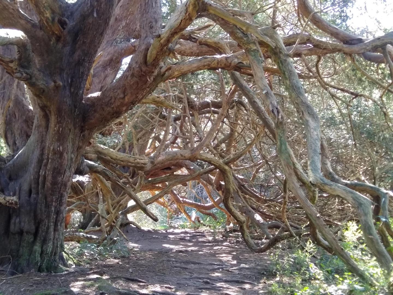 Kingley Vale Yew trees - xmas 2020 Helen Dignum