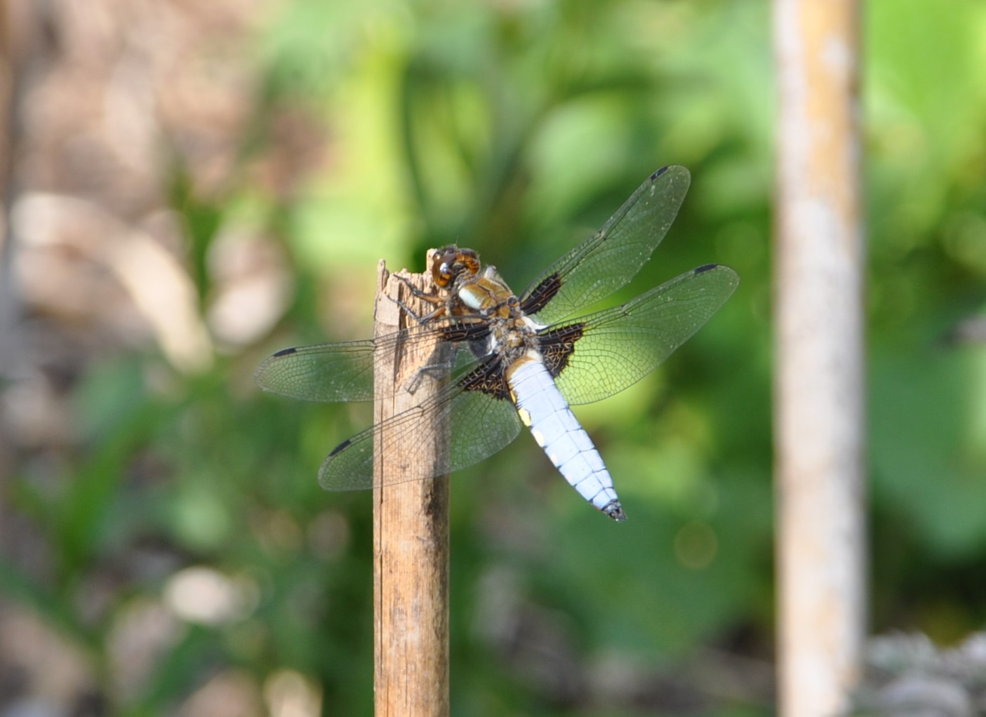 Broad Bodied Chaser - East Ashling xmas 2020 Helen Dignum