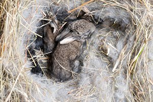 Kit rabbits rescued by Paws2Walk, collected from local vets and taken to Wildlife Centre Hampshire.