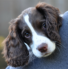 Just Springers Rescue - Springer Rescue in South East : Just